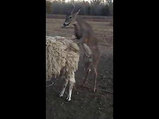 28.deer Fucking Llama