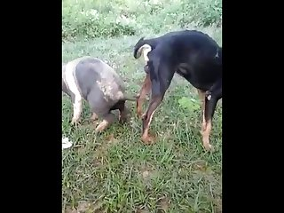 18.dog Knotted To Pig